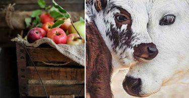 cueillette de pomme et traite de vache
